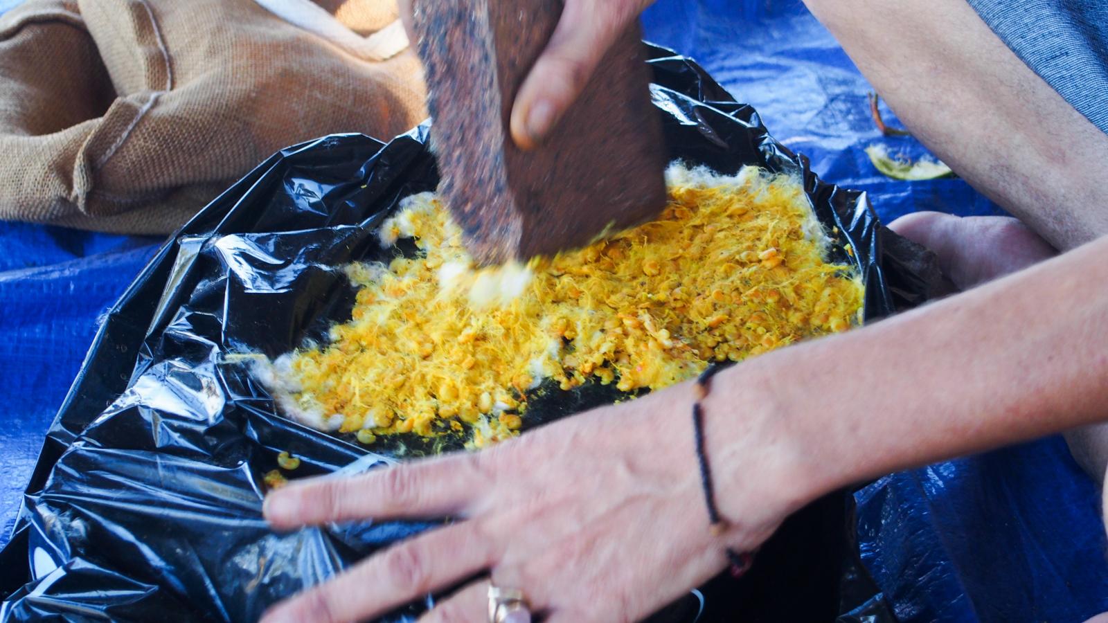 Crushing kapok seeds turns the white fibre inside bright yellow.