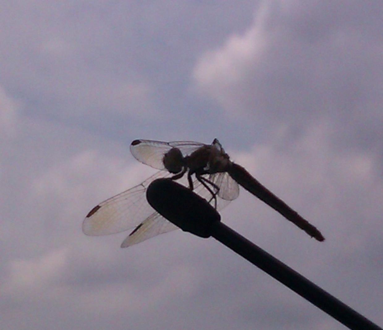 dragonfly on car antennae