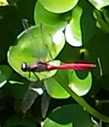 red bodied dragonfly